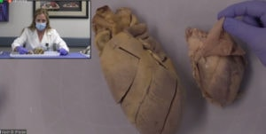 Tiffany Huitt, Ph. D., opens and discusses the interior components of a pig heart, left, and a sheep heart.